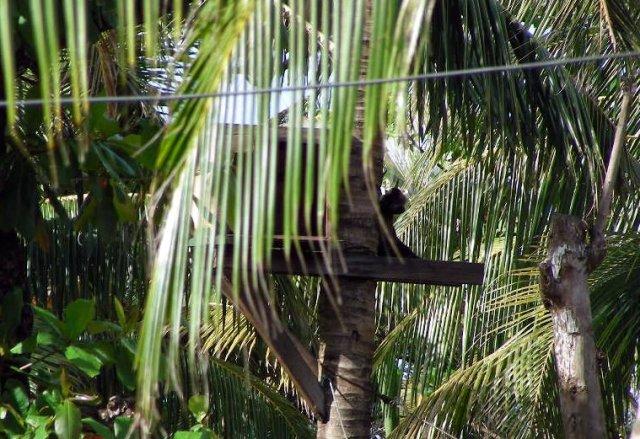 Pet monkey lives in tree.
